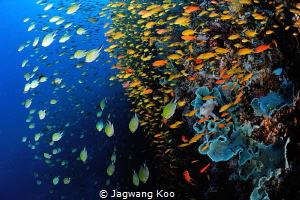 Anthias by Jagwang Koo
